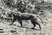 Harimau Jawa diambil Tahun 1938